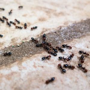 Ants On Stone Floor 300x300 Cómo eliminar mosquitos y otras plagas