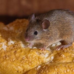 Mouse On Sesame Seed Bread 300x300 Cómo eliminar mosquitos y otras plagas